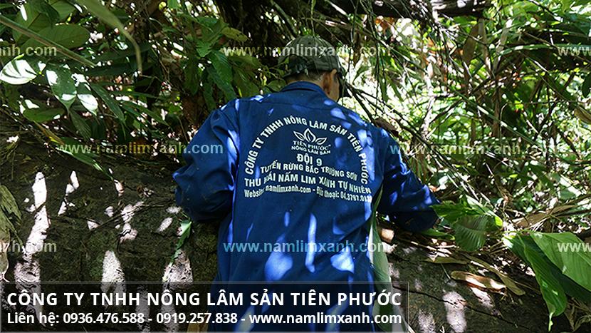 Công ty TNHH Nấm lim xanh Tiên Phước và quá trình thu hái nấm lim xanh
