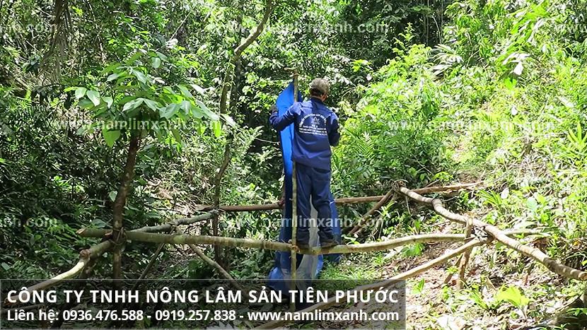 Giá nấm lim xanh Công ty Tiên Phước chuẩn và giá nấm lim rừng tự nhiên