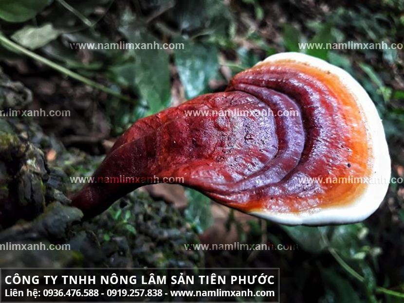 Giá nấm lim xanh của Công ty Tiên Phước loại 1 giá bán trên thị trường