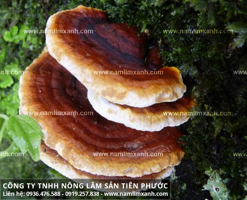 Giá nấm lim xanh Lào bao nhiêu tiền 1kg và giá cả nấm lim rừng Lào