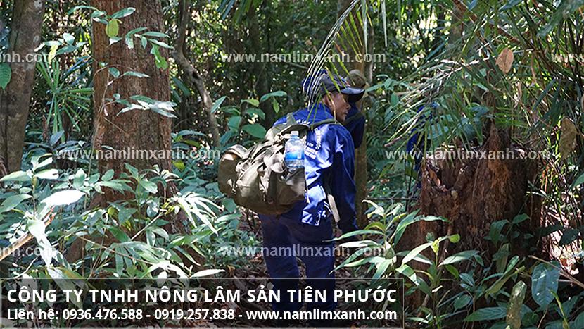 Giá nấm lim xanh Lào và thực trạng thị trường nấm lim xanh rừng ra sao