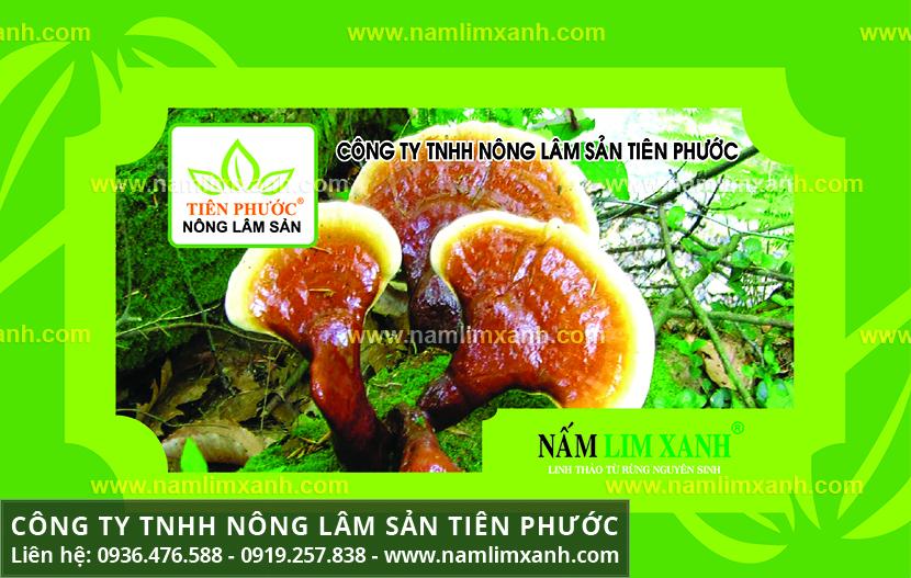 Giá nấm lim xanh Tiên Phước và địa chỉ bán nấm lim xanh ở TPHCM