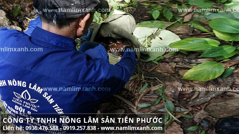 Giá nấm lim xanh tự nhiên với thực trạng thị trường nấm lim xanh rừng