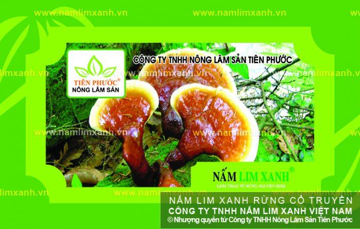 Giá nấm lim xanh Công ty TNHH Nông lâm sản Tiên Phước luôn ổn định.