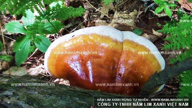 Nấm lim xanh chủ yếu thu hái ở rừng nguyên sinh tại Việt Nam và Lào.