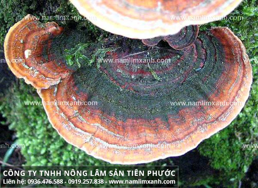 Hình ảnh nấm lim xanh tự nhiên với các loại nấm cây lim rừng là gì?