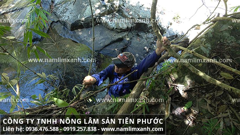 Mua bán nấm lim xanh ở TPHCM và thị trường mua bán nấm lim ở TPHCM