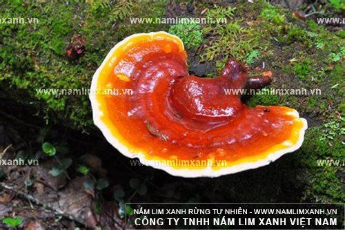 Đặc điểm của nấm lim Quảng Nam