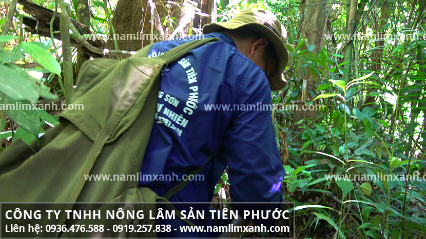 Mua nấm lim xanh ở TP.HCM và mua nấm cây lim xanh rừng uy tín ở đâu?