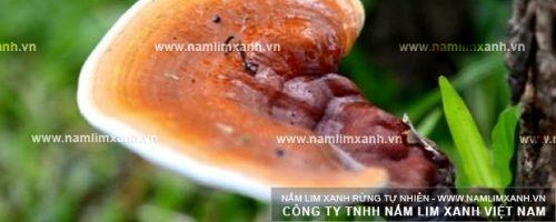 Nấm lim giá bao nhiêu phụ thuộc vào chất lượng và chủng loại nấm