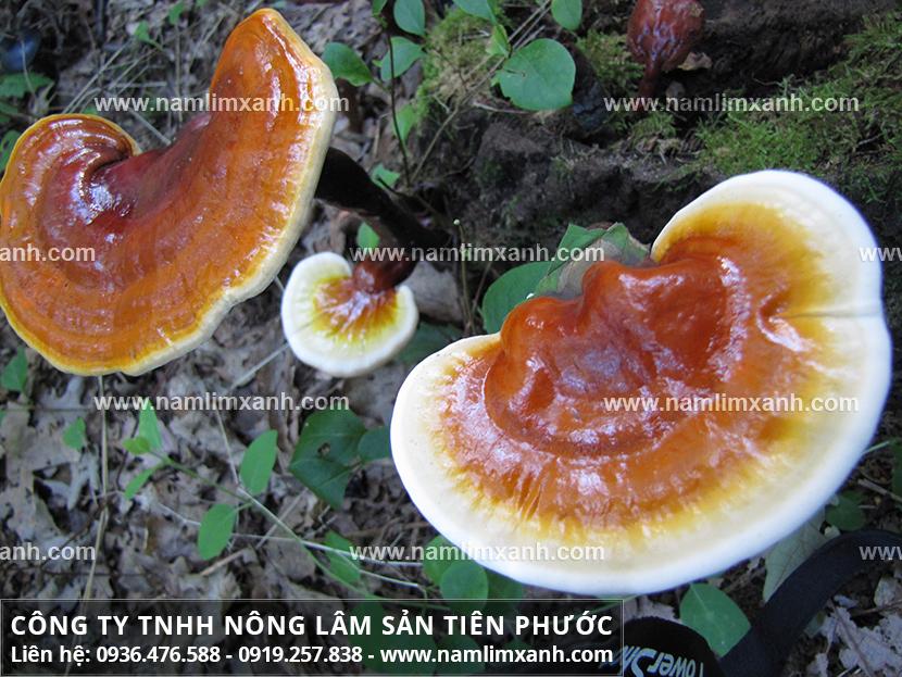 Nấm lim xanh chữa bệnh ung thư gan và tác dụng nấm lim xanh rừng Lào