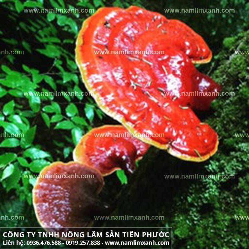 Nấm lim xanh chữa tai biến với cách uống nấm lim rừng trị tai biến