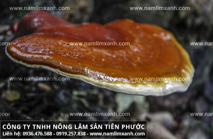 Nấm lim xanh của Lào là gì và uống nấm lim xanh rừng có tốt không?