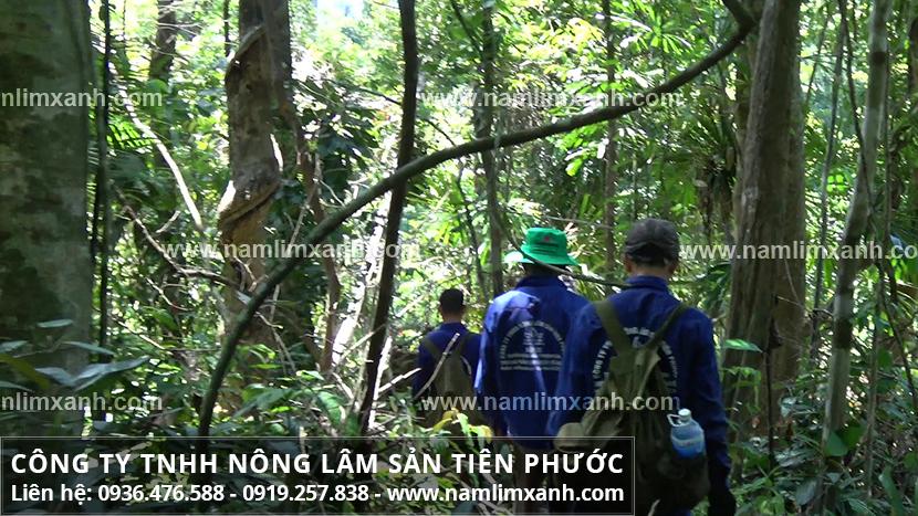 Nấm lim xanh của Lào và thành phần dược chất trong nấm lim xanh của Lào