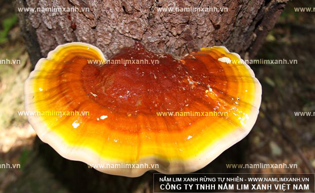 Hình ảnh nấm lim xanh rừng Lào của Công ty Tiên Phước