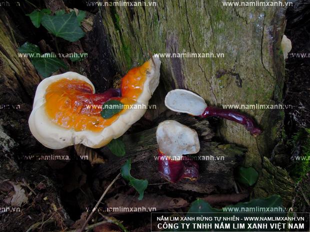 Hình ảnh nấm lim xanh rừng tự nhiên Tiên Phước