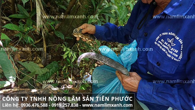Nấm lim xanh giá bán với thực trạng thị trường nấm lim xanh Quảng Nam