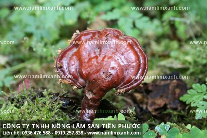 Nấm lim xanh giải độc gan và lợi ích cây nấm lim rừng thải độc gan