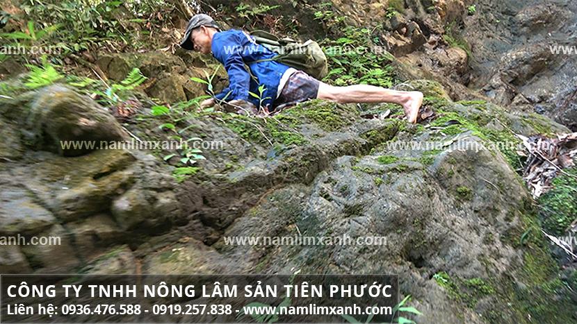 Nấm lim xanh Hà Nội nơi bán đúng giá nấm lim xanh của Công ty Tiên Phước