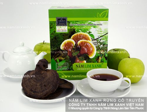 Nấm lim xanh Lào được Công ty Thiên Phước thu hái từ rừng tự nhiên