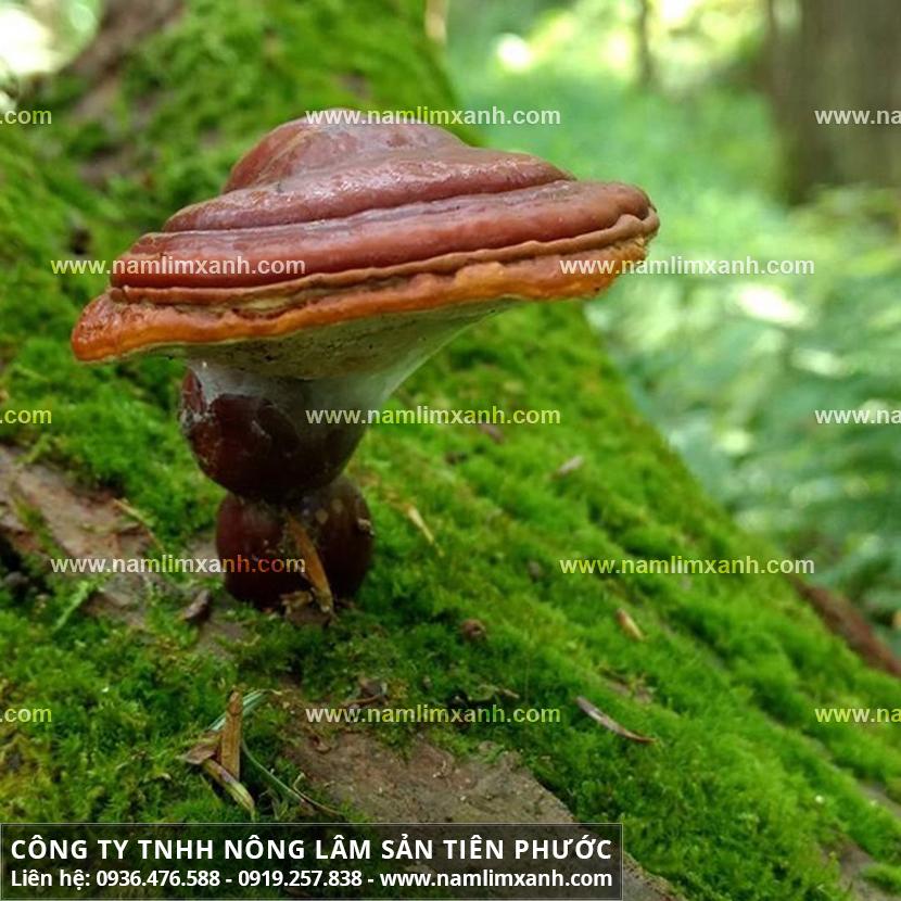 Nấm lim xanh mua ở đâu chất lượng và hình ảnh cây nấm lim rừng thật