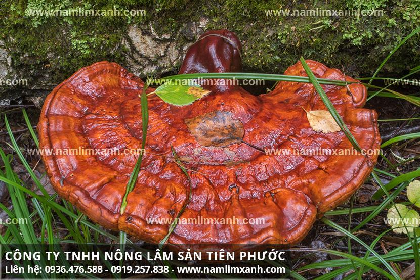 Nấm lim xanh ở Quảng Nam mọc từ đâu với đặc điểm nấm cây lim rừng