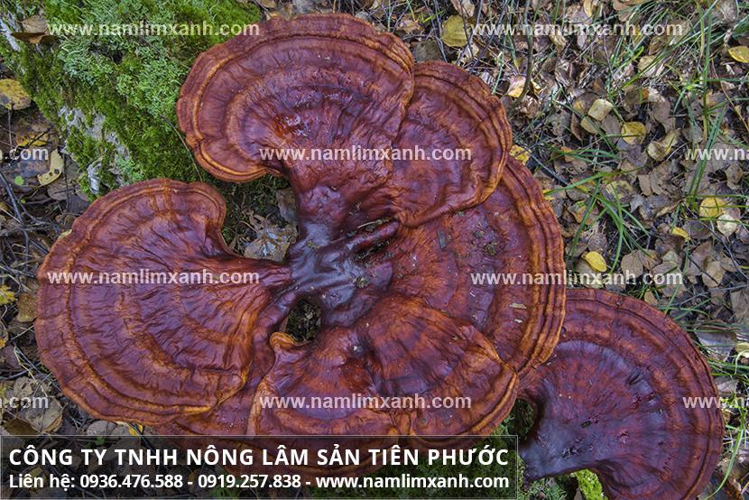Nấm lim xanh Quảng Nam chính gốc với tác dụng của cây nấm lim rừng