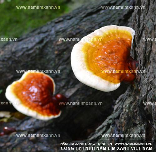 Nấm lim xanh Quảng Ninh là nấm lim xanh từ rừng tự nhiên.