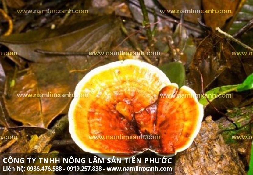 Nấm lim xanh Quảng Ninh với nấm lim xanh bán ở đâu đảm bảo uy tín?