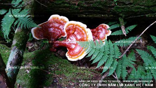 Hình ảnh nấm lim xanh rừng Lào trong tự nhiên