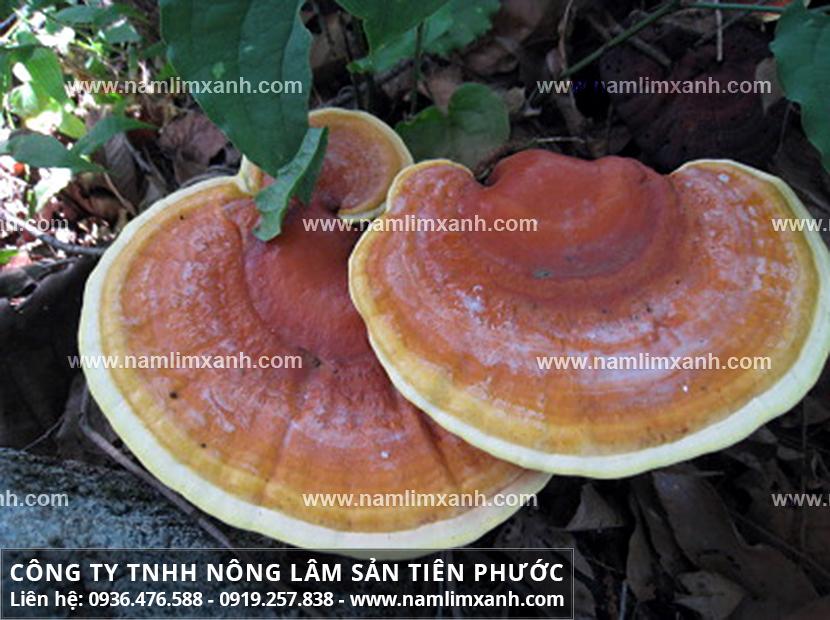 Nấm lim xanh rừng Lào và công dụng nấm lim xanh giải độc gan