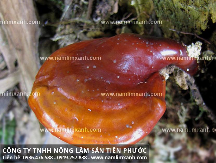 Nấm lim xanh tác dụng gì và công dụng dược chất của nấm cây lim rừng