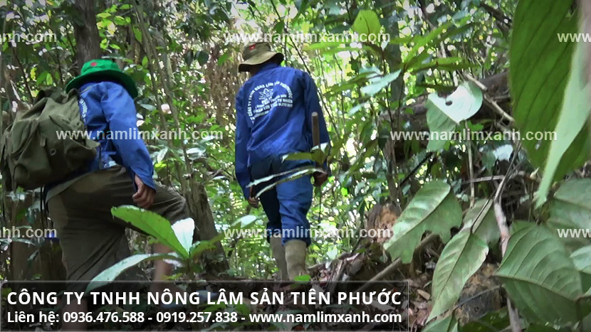 Nấm lim xanh tại Hà Nội có ở đâu và cơ sở bán nấm lim ở Hà Nội