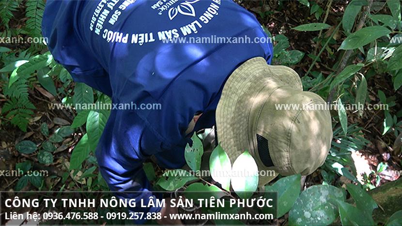 Nấm lim xanh Thanh Hóa với cách phân biệt nấm lim xanh Quảng Nam