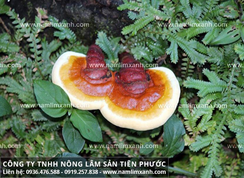 Nấm lim xanh trị bệnh gì và tác dụng của cây nấm lim rừng tự nhiên