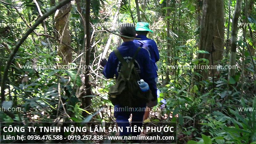 Nguồn gốc nấm lim xanh rừng của Công ty Nấm lim xanh Quảng Nam từ đâu?