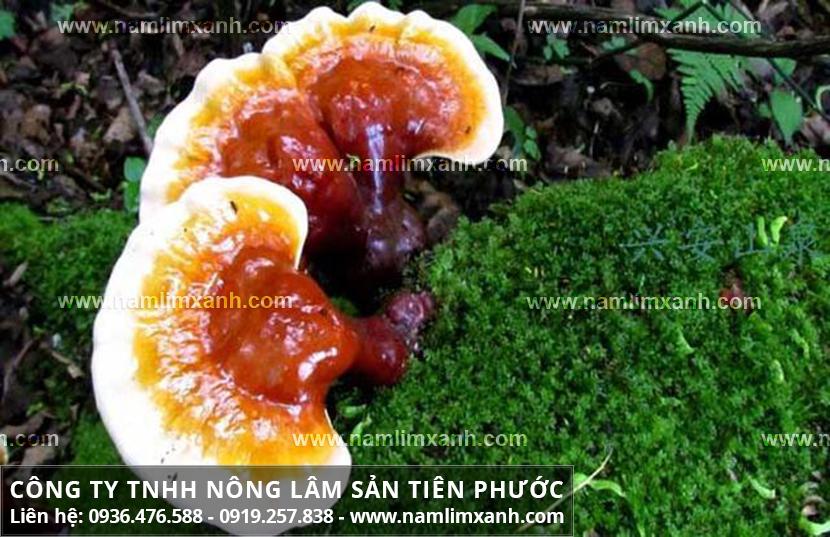Nguồn gốc nấm lim xanh và tác dụng của nấm lim xanh rừng Tiên Phước
