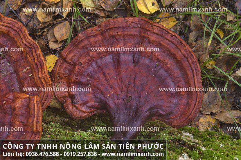 Phân biệt nấm lim xanh rừng thật và nơi mua nấm lim xanh ở Hà Nội