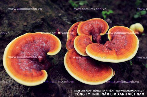 Hình ảnh cây nấm lim