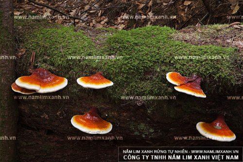 Tác dụng của nấm lim xanh Quảng Nam bồi bổ cơ thể được các bác sĩ đánh giá cao
