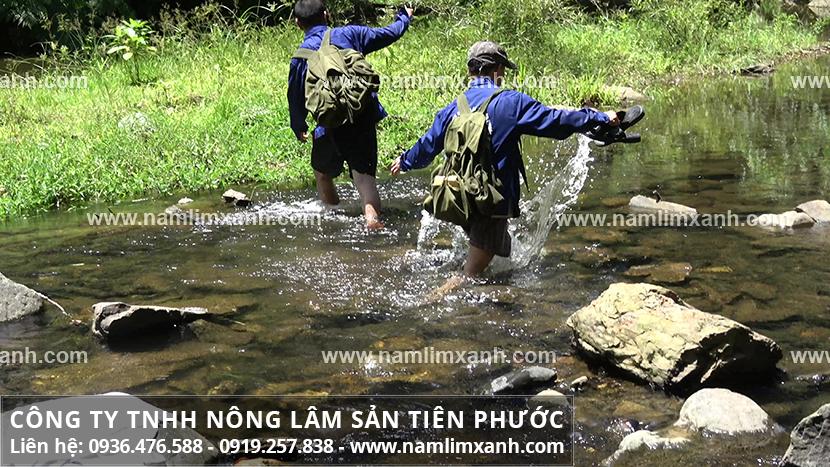 Tác dụng của nấm lim xanh Quảng Nam có tác dụng giảm cân không?