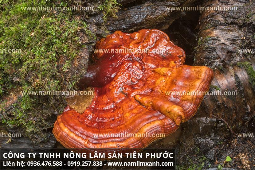 Tác dụng của nấm lim xanh Quảng Nam và công dụng các loại nấm lim rừng