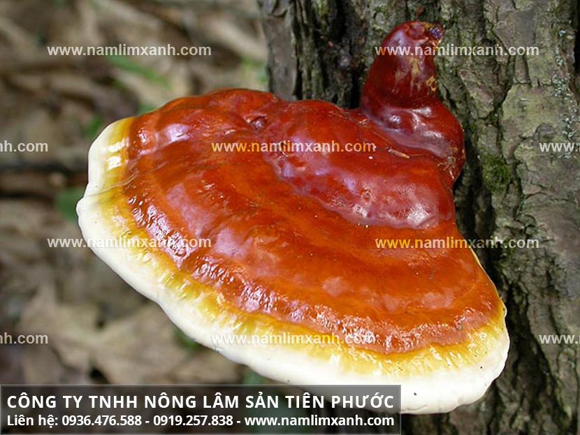 Tác dụng của nấm lim xanh Quảng Nam và đặc điển nấm lim xanh tự nhiên