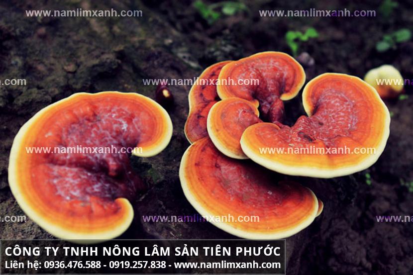 Tác hại của nấm lim xanh rừng với cách nhận biết nấm lim xanh trồng