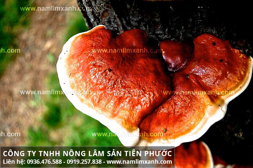 Tác hại của nấm lim xanh rừng với phân biệt nấm lim xanh thật và giả