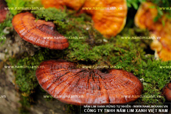 Cách phân biệt nấm lim xanh thật giả dựa vào độ ẩm của nấm lim rừng