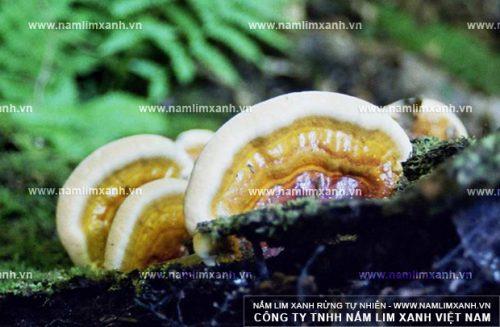Nguồn gốc nấm lim xanh rừng tự nhiên không phải ai cũng biết