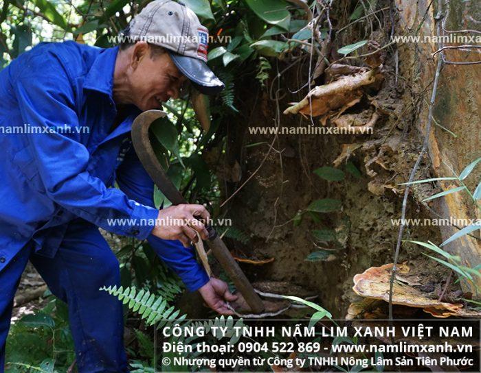 Nấm lim xanh rừng trên gốc lim mục là nấm lim xanh rừng tự nhiên của công ty Tiên Phước.