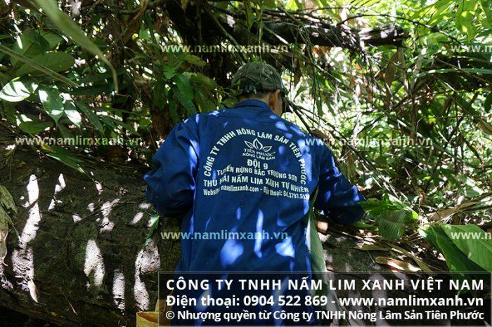 Nấm lim xanh Lào tìm hái từ vùng rừng sâu giáp biên giới.