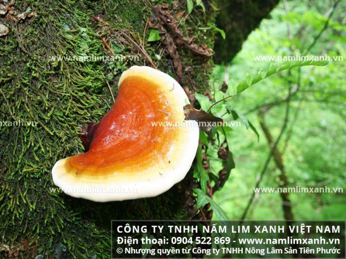 tác dụng của nấm lim xanh chữa bệnh gì với công dụng của nấm lim xanh rừng